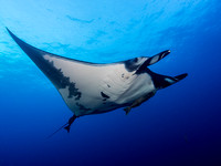 Giant Manta Ray, Pacific Ocean, Socorro, December 2013